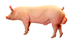 pic337-boar-scr