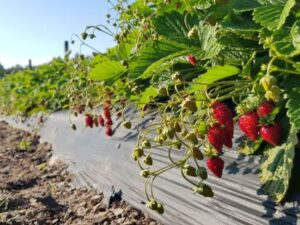fruitech-alpine-strawberry-1-1-400x300