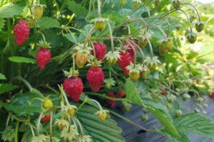 fruitech-alpine-strawberry-2-600x400